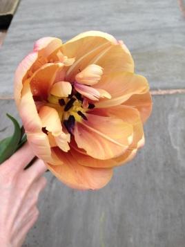 'La Belle Epoque' Tulip